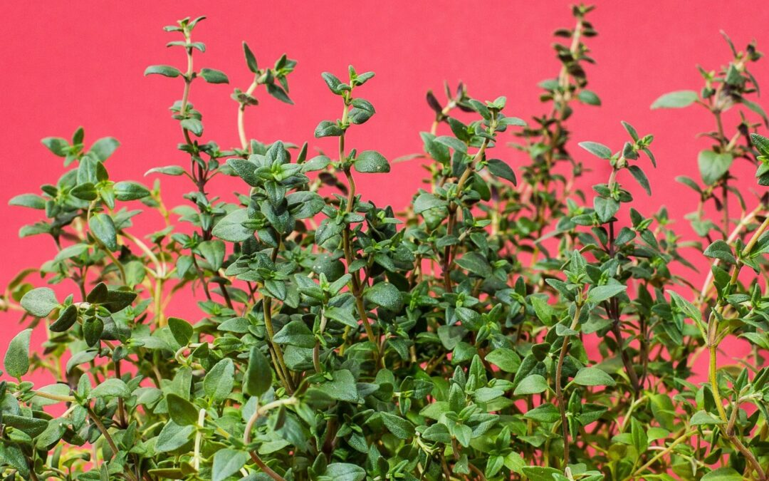 6 Ways To Make The Most Of The Medicinal Benefits Of Fresh Thyme
